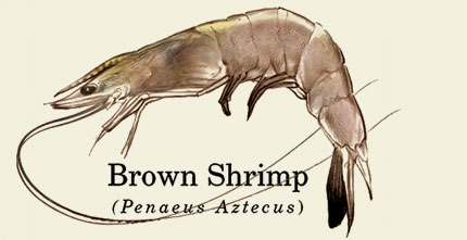Brown Shrimp